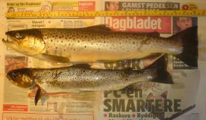 To sjøørret fra påsken 2006. Et av de få fiskebildene jeg har.