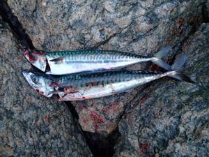 Dagens fangst (makrell til vinterens agnfiske).